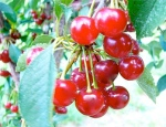 lessons learned from tart cherries