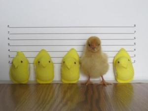 ode to peeps