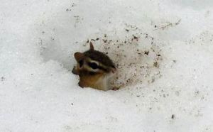 chipmunk in snow