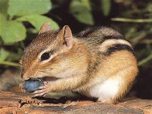 chipmunk with blueberry treat