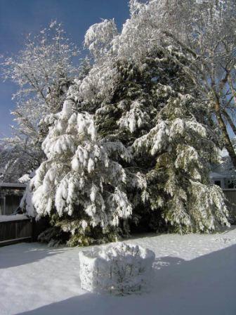 snowy backyard and rose bush