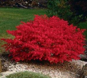 flame bush