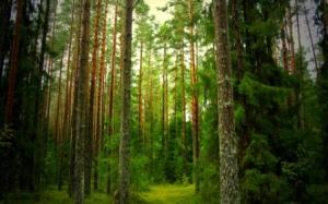 green pine forest