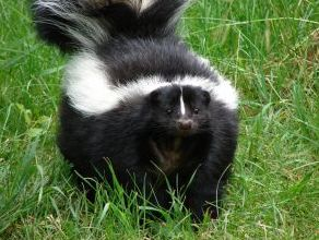scary skunk