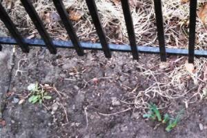 crocus leaves 2