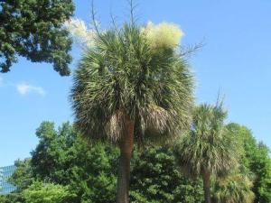 south carolina palmetto